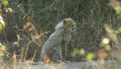 A young cheetah Stock Footage