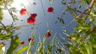 Stock Video Footage of Red poppies on sky background in back view
