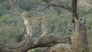 Cheetah standing on branch Stock Footage