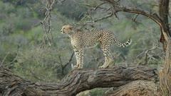 Cheetah on dead tree Stock Footage