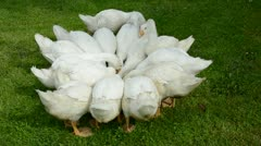 white gooses group nutrition in the farm - stock footage