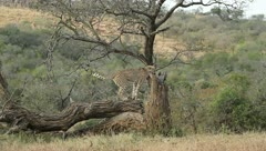 Cheetah on a tree. Stock Footage