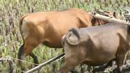 Buffalo, rice Stock Footage