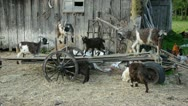 Goats in the old farm on broken carriage Stock Footage