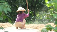 Agriculture, rice Stock Footage