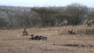 Stock Video Footage of Wild dogs chewing bones.