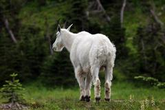Mountain Goat mountain forest from rear Stock Photos