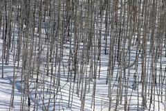 Winter season snow mountain aspen forest - stock photo