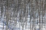 Stock Photo of Winter season snow mountain aspen forest