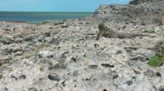 Cuban rock iguana (Cyclura nubila) in the wild, Cayo Largo Stock Footage