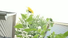 Sunflowers low angle Stock Footage