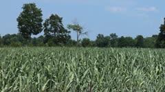 Heat Stressed Corn Stock Footage