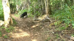 Wild black hog in Topes de Collantes, Cuba Stock Footage