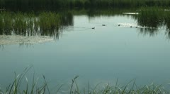 Ducklings on a Lake, Summer Season, Little Ducks on a Pond Stock Footage