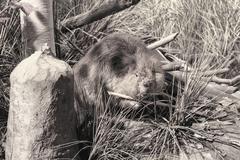 Beaver black white chewing wood Stock Photos