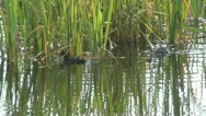Stock Video Footage of Ducklings on a Lake, Summer Season, Little Ducks on a Pond