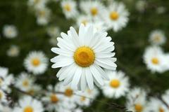 Daisy flowers bright bloom Alaska Stock Photos