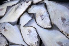 Halibut fish deep sea fishing Stock Photos