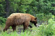 Stock Photo of Brown Bear in wild forest