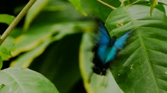 Ulysses butterfly laying eggs Stock Footage