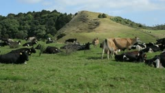 Cows grazing in a valley in New Zealand - stock footage