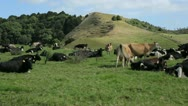 Stock Video Footage of Cows grazing in a valley in New Zealand