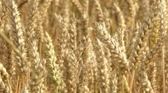 Cornfield / Grainfield Stock Footage