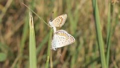 The mating butterflies - silver-studded blue - Plebejus argus Stock Footage