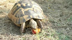 An adult of spur-thighed turtle eating an apple / Testudo graeca ibera Stock Footage