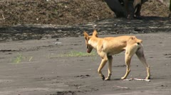 Dog dingo, in PNG Stock Footage