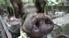 Large Domestic Pig Stares Down Camera - stock footage