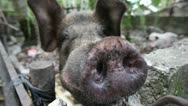 Large Domestic Pig Stares Down Camera Stock Footage