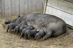 Pig sow with baby pigs feeding - stock photo