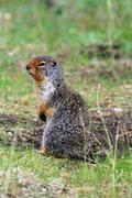 Ground squirrel standing wildlife rodent Stock Photos