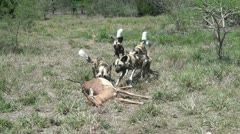Wild dogs  pulling  dead impala away. - stock footage