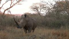 A white rhino in the veld grunting Stock Footage