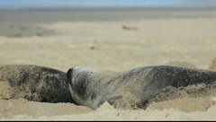 Sea lions on sandy beach Stock Footage