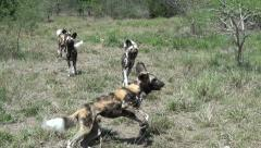 Stock Video Footage of A pack of wild dogs