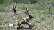 A pack of wild dogs Stock Footage