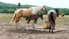 Beautiful young horse and mom drinking water Stock Footage