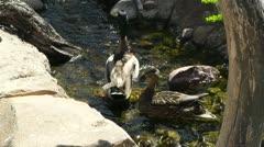 San Diego Zoo 04 ducks handheld Stock Footage