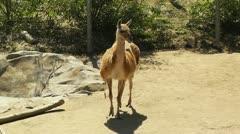 San Diego Zoo 07 guanaco handheld Stock Footage