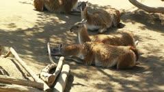 San Diego Zoo 08 guanaco handheld Stock Footage