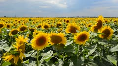 Sunflowers on a field - stock footage