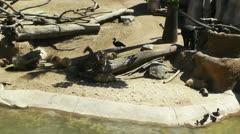 Stock Video Footage of San Diego Zoo 14 capybara