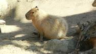 San Diego Zoo 15 capybara Stock Footage