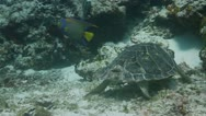 Stock Video Footage of turtle cozumel mexico