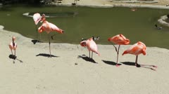 San Diego Zoo 31 flamingo Stock Footage