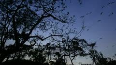 Frigate birds flying overhead Stock Footage