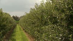 Plantation With Apple Trees Stock Footage